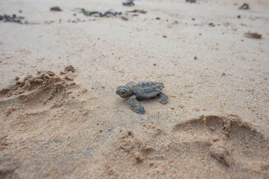 Watching turtles hatch on the beach in Mirissa