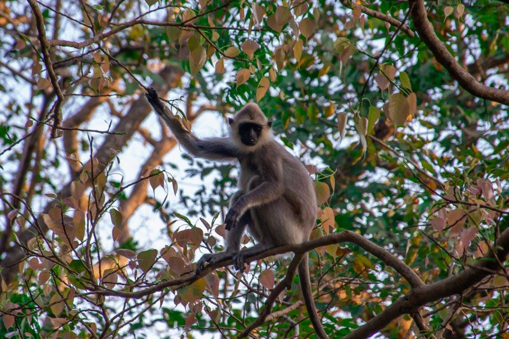 monkey in a tree in Dambulla, Sri Lanka