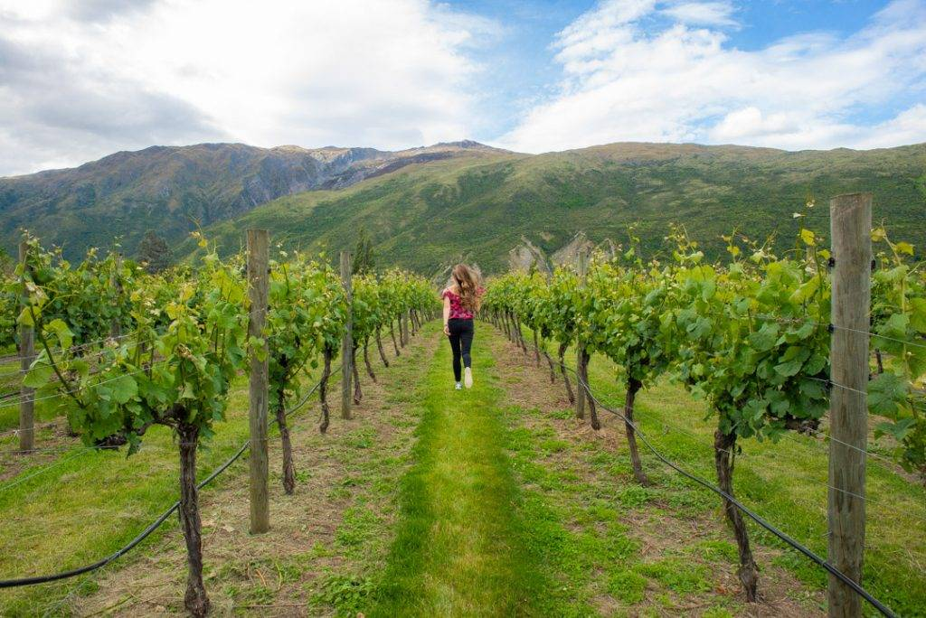 Bailey running through the vines at the Gibbston Valley winery in New Zealand
