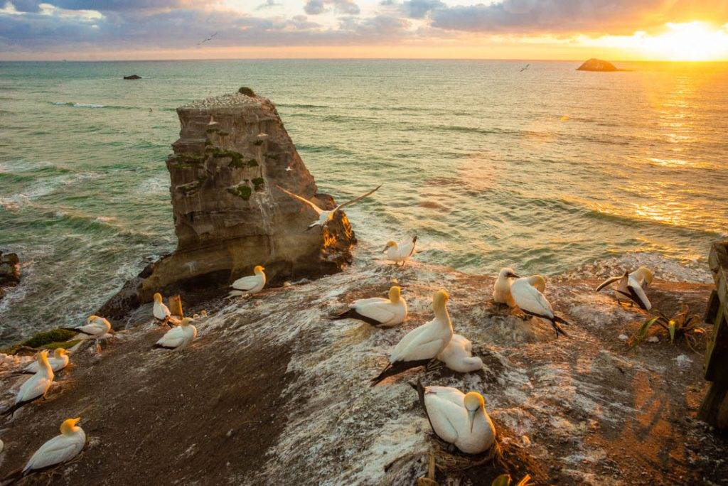 Visiting the gannet colony near Auckland on a new Zealand road trip