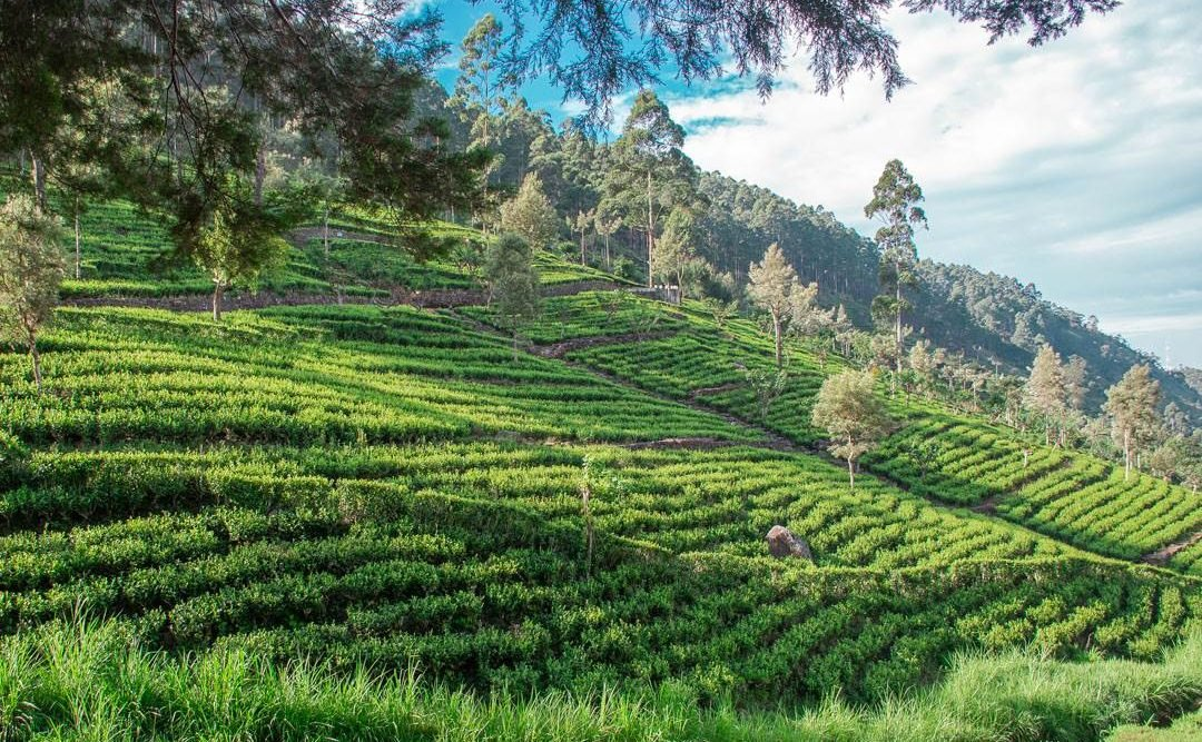 Tea plantations around Sri Lanka