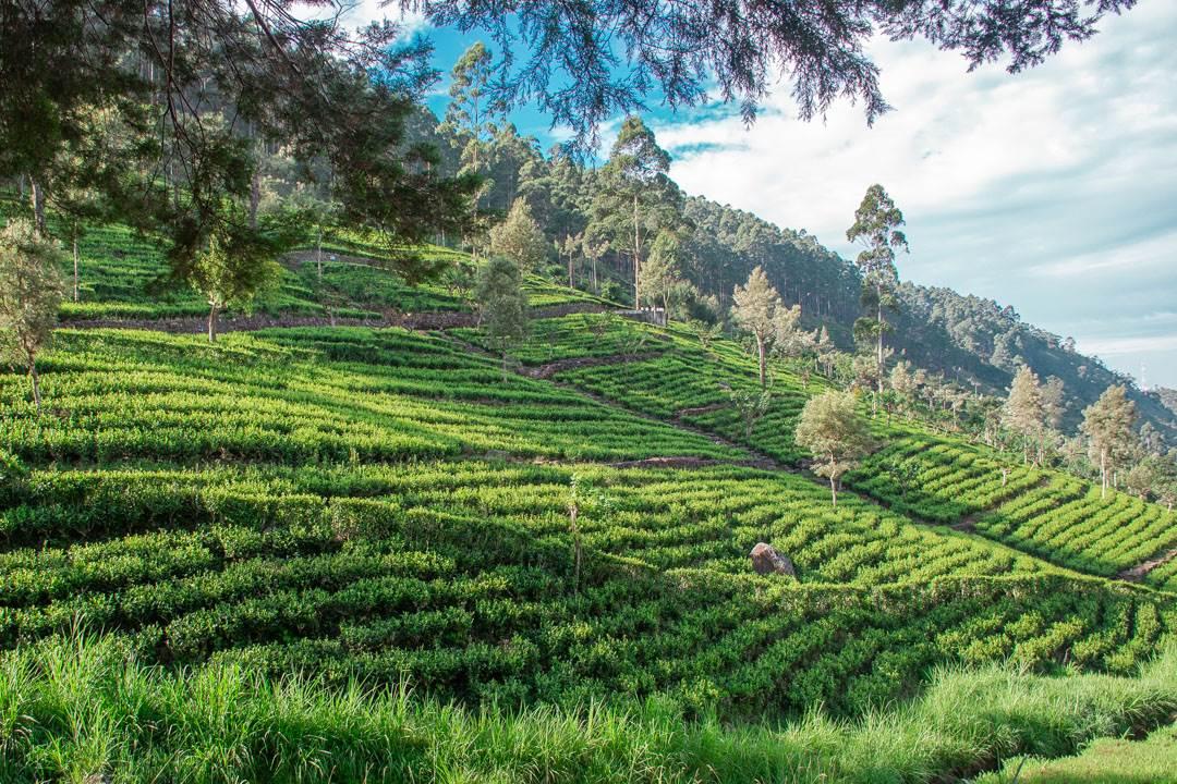Tea plantations around Sri Lanka