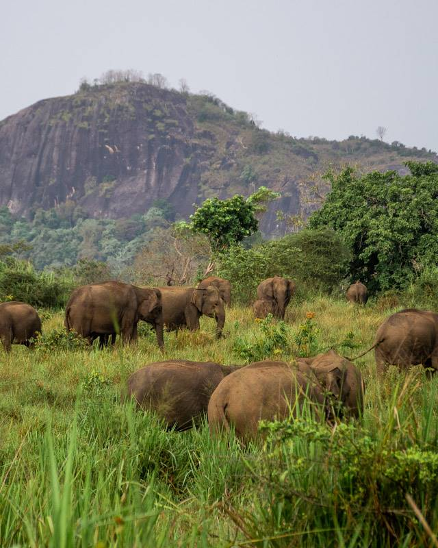 Tons of wild elephants in Maduru Oya National Park, Sri Lanka