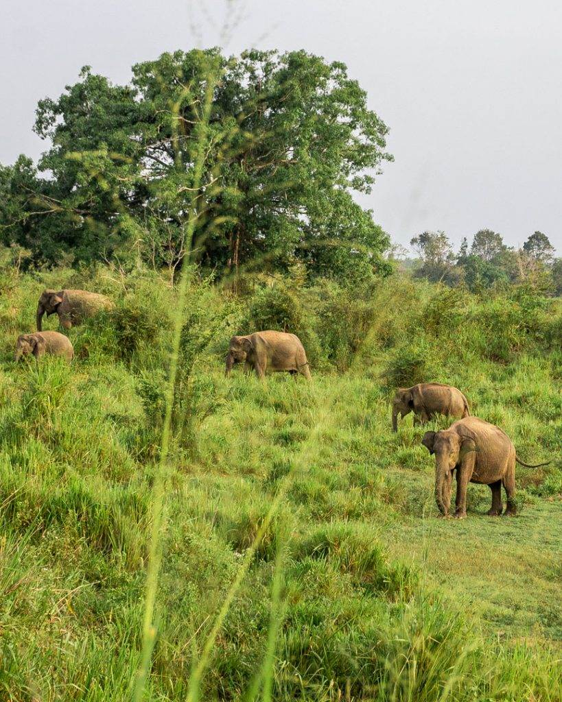 Elephants in Minneriya National Park, Sri Lanka