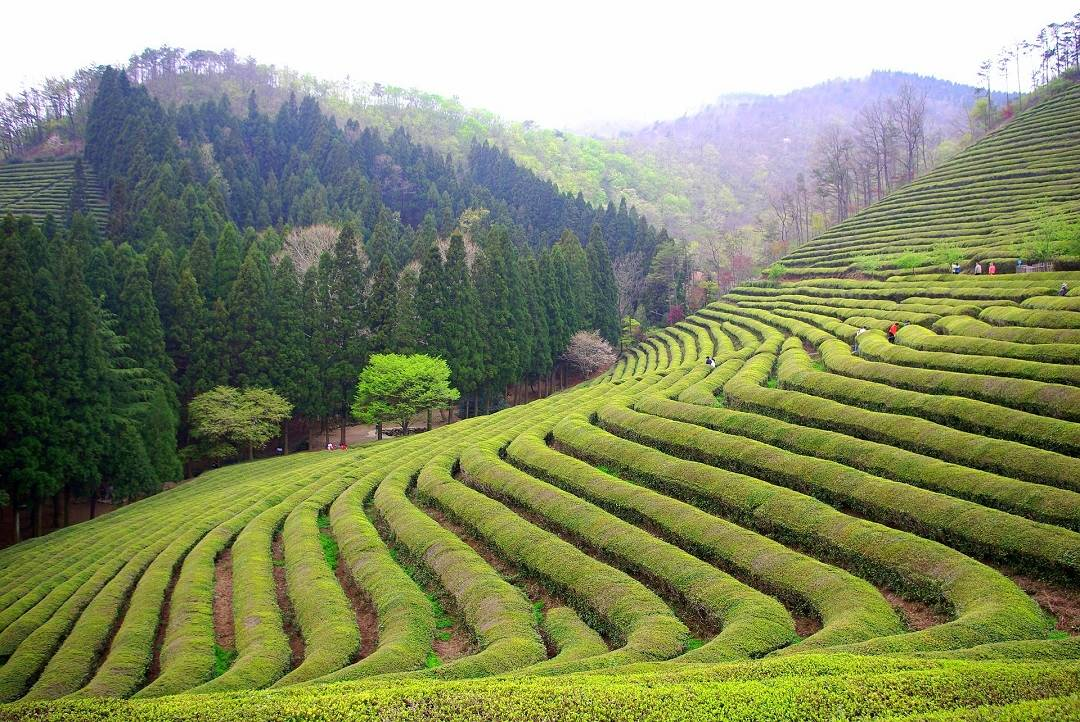 The rolling green tea fields of Boseong.