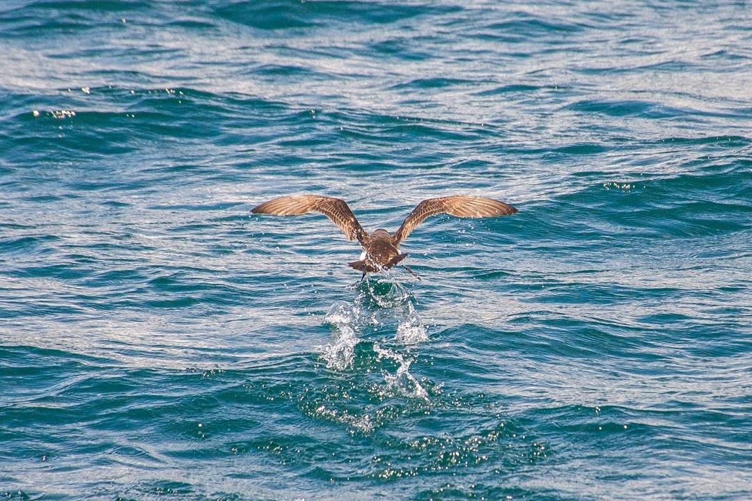 fluttering shearwater bird marlborough sounds