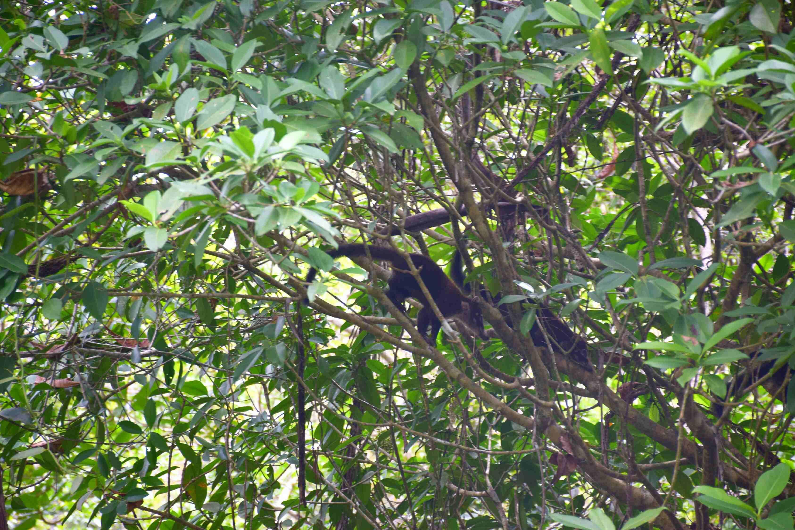 Cahuita National Park has many howler monkeys