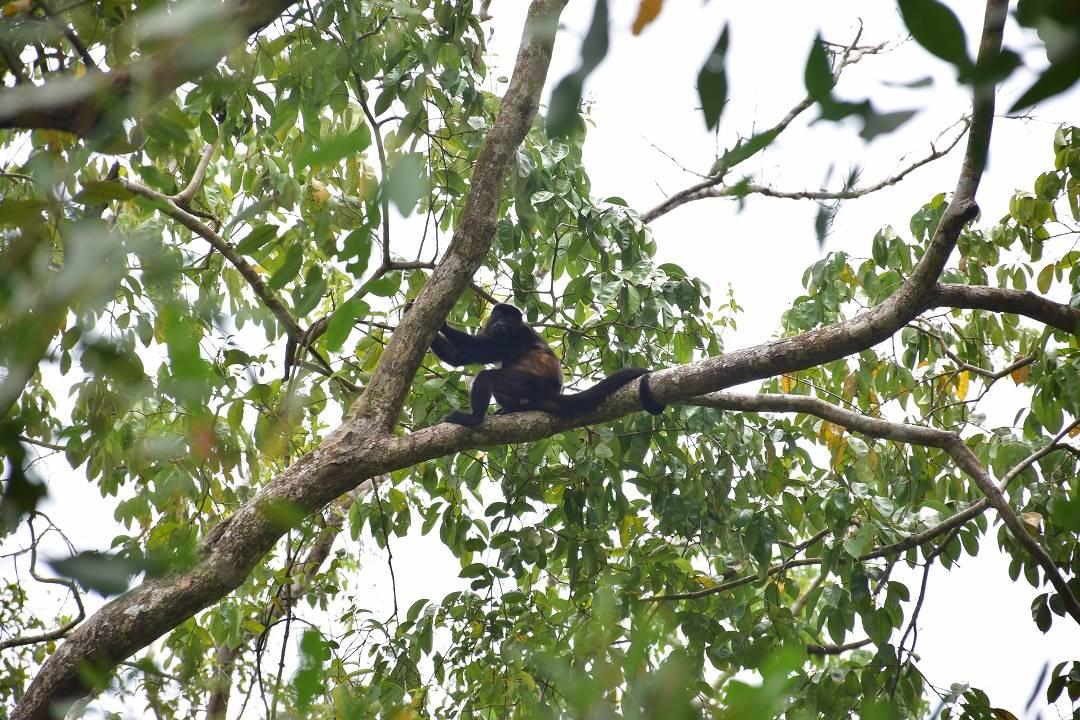 monkeys in puerto maldonado monkey island