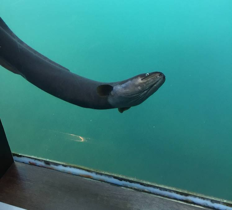 An eel up against the glass in the Underwater Observatory in Queenstown