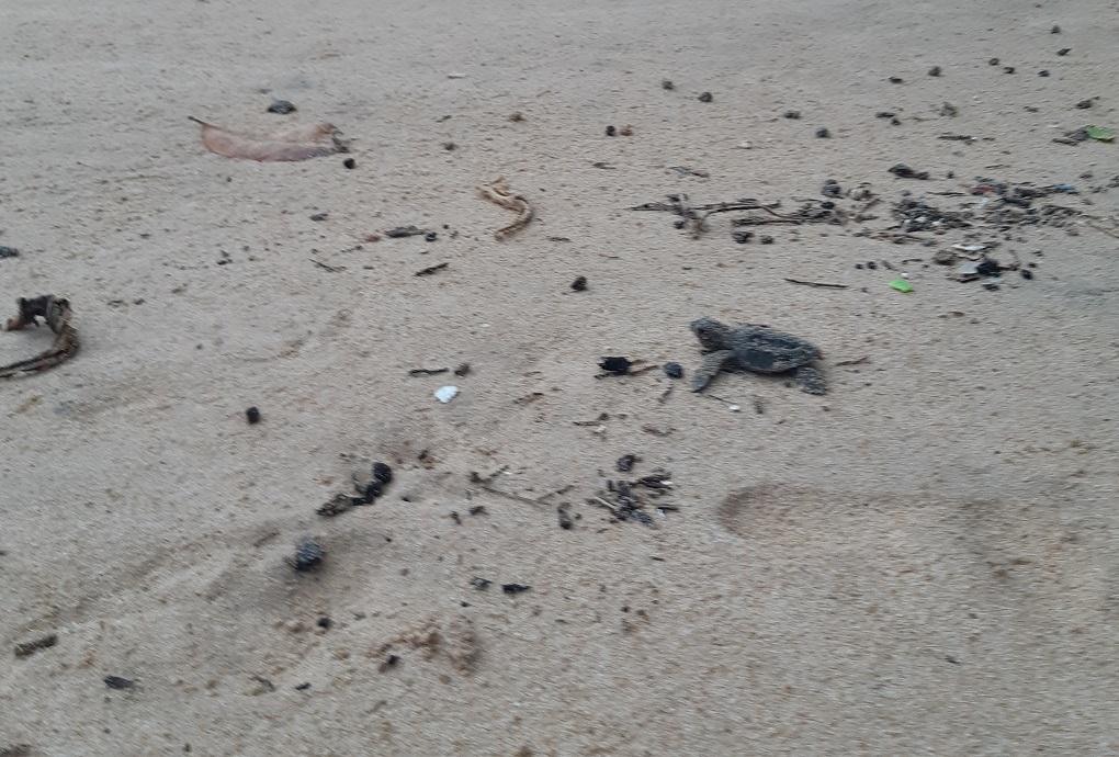 baby turtle runs hatches and runs for the water at hikkaduwa beach, Sri Lanka
