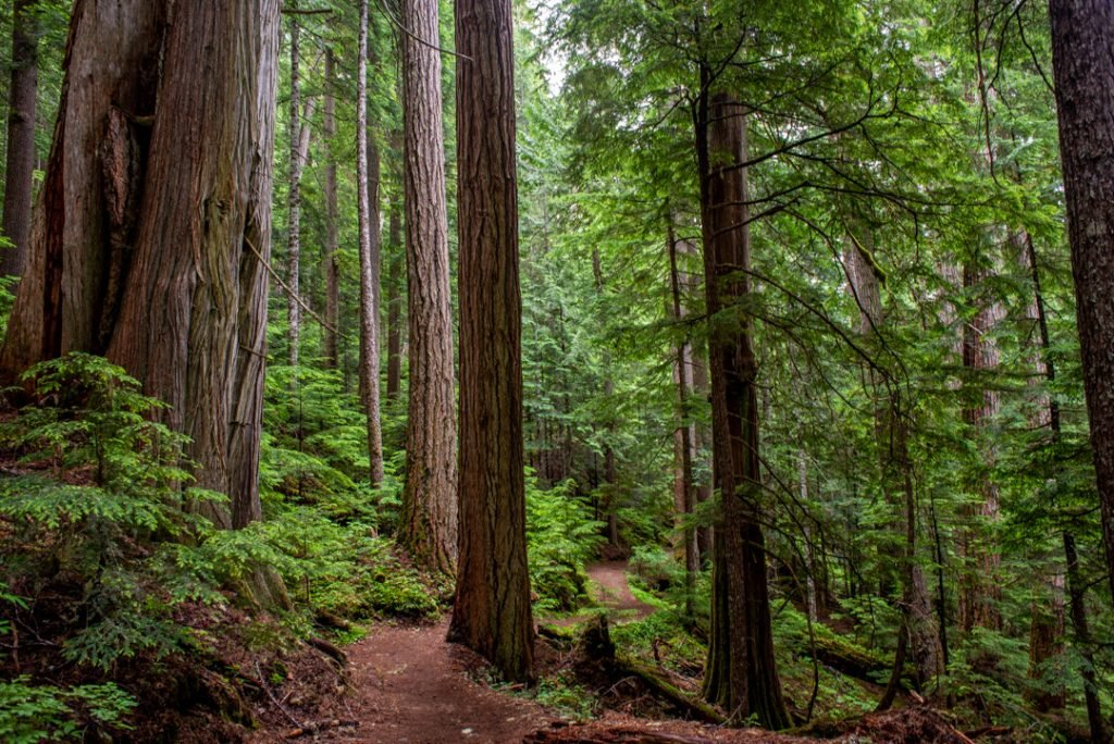 The Ancient Cedar Trail