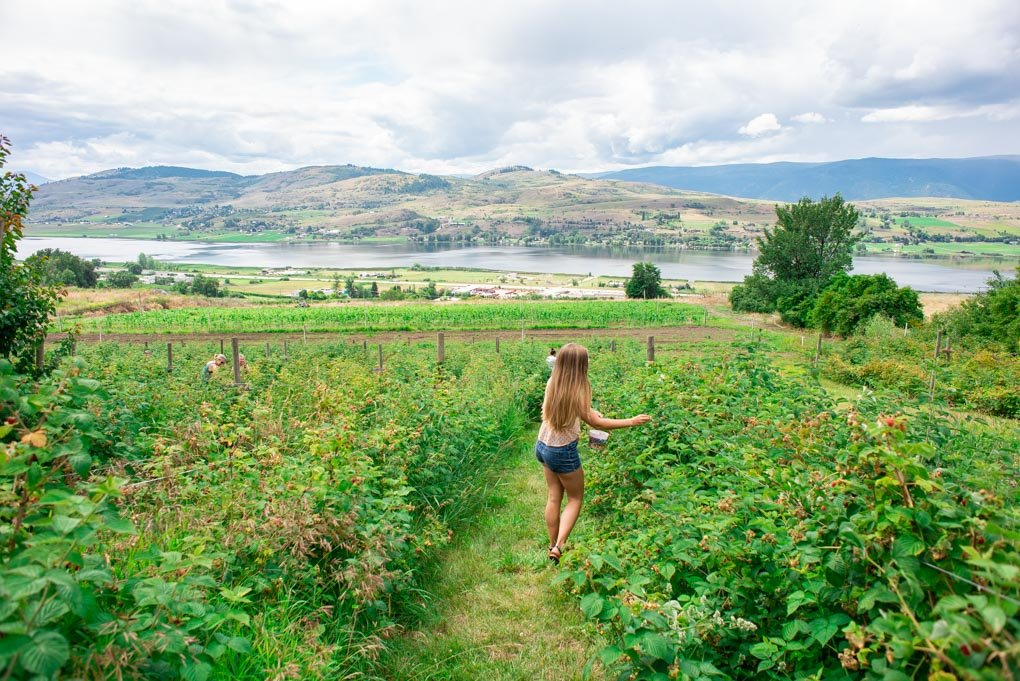 Bailey picks berries in Vernon, BC