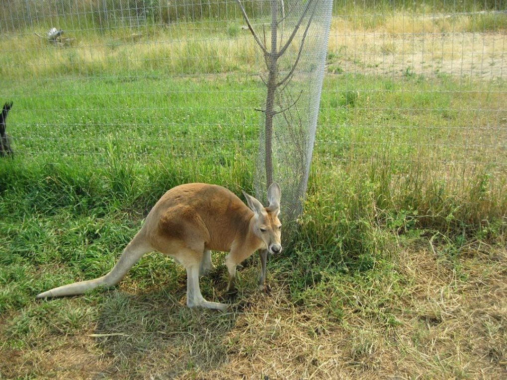 A Kangaroo hops around at the The Kangaroo farm in Kelowna!