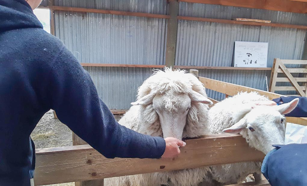 sheep-at-kelowna-petting-zoo