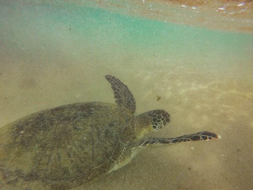 sea turtle in sri lanka swimming in the ocean