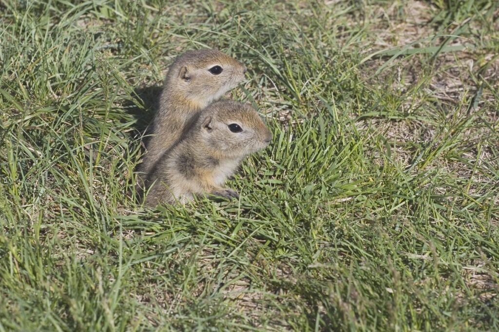two gophers coming out of their hole at the Allan Brooks Nature Centre