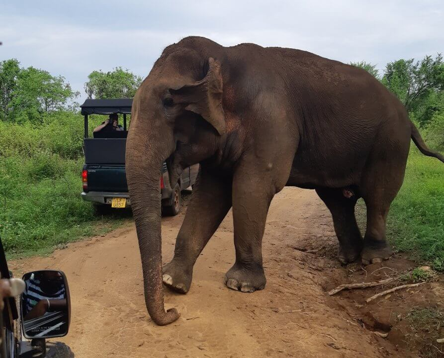 elephant crossing in front of a safari jeep in Udawalawe National Park, Sri Lanka