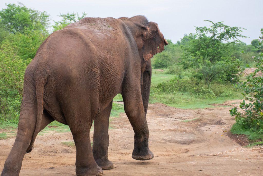 elephants being followed in Udawalawe National park