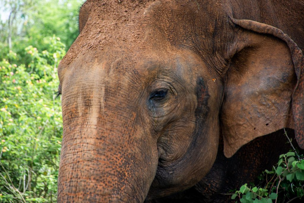 Large male elephant in Udawalawe National Park
