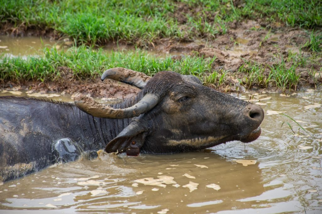 Water Buffalo in Udawalawe National Park