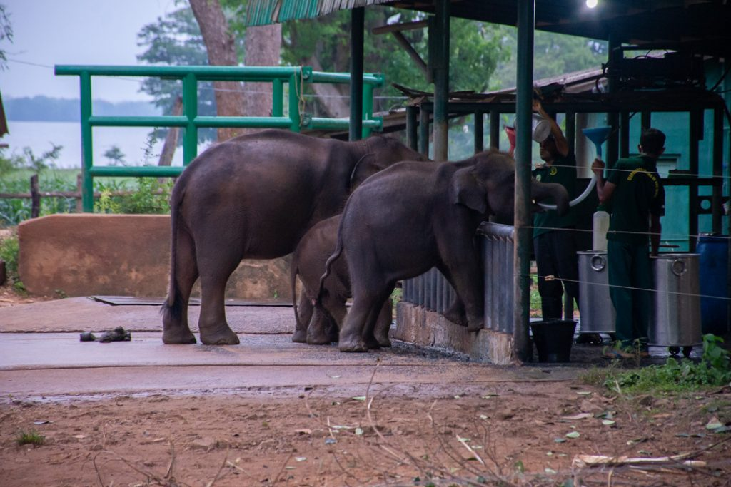 Baby elephants getting fed at the elephant orphanage in Udawalawe