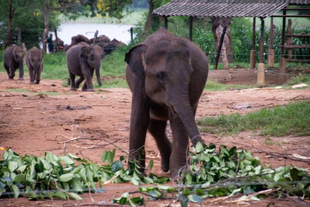 Udawalawe elephant orphanage