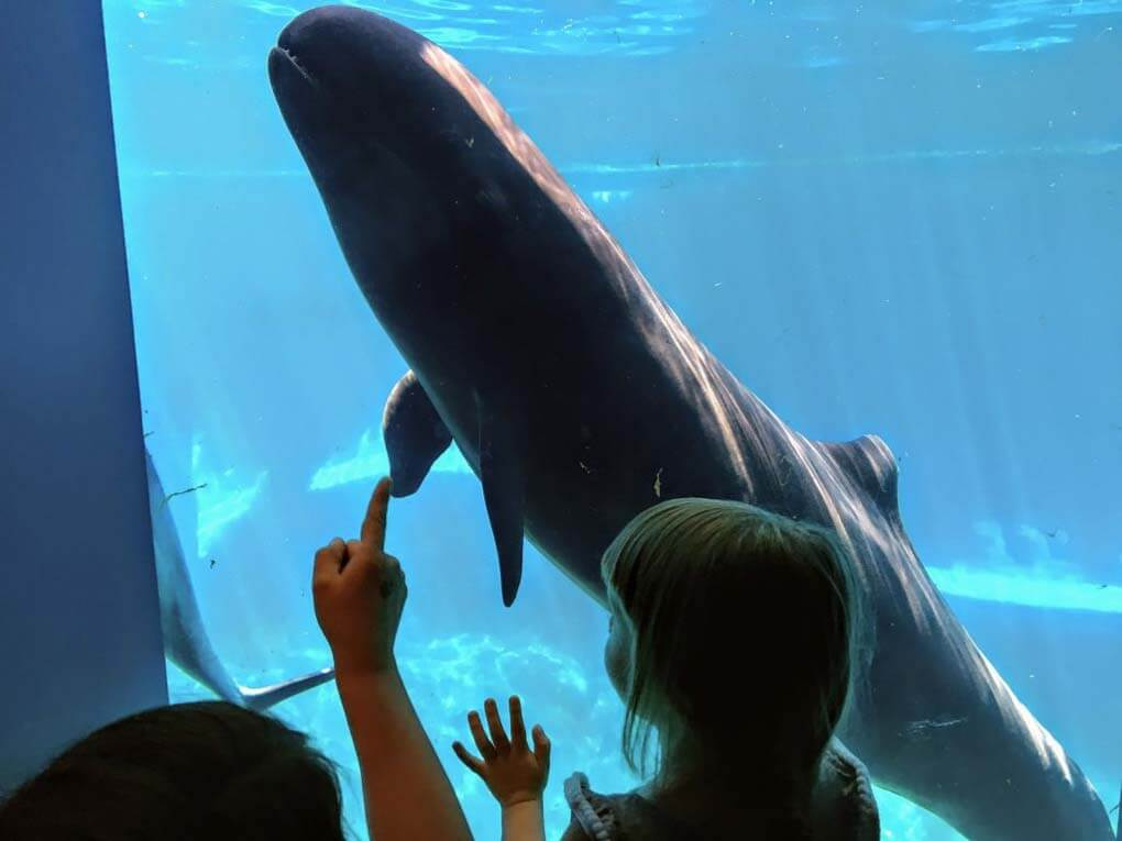 A whale at the Vancouver Aquarium swims up to the glass