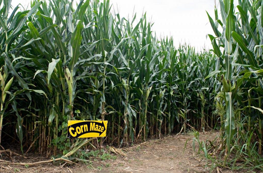 The start of a corn maze in Saskatoon, SK