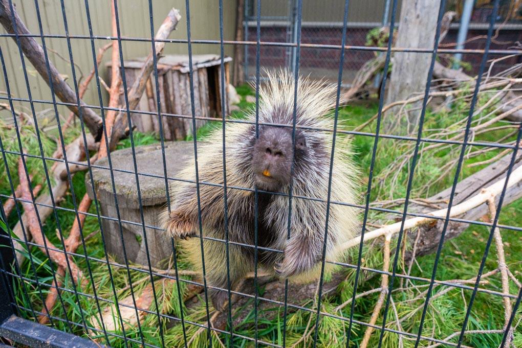 A porcupine at the Saskatoon Zoo