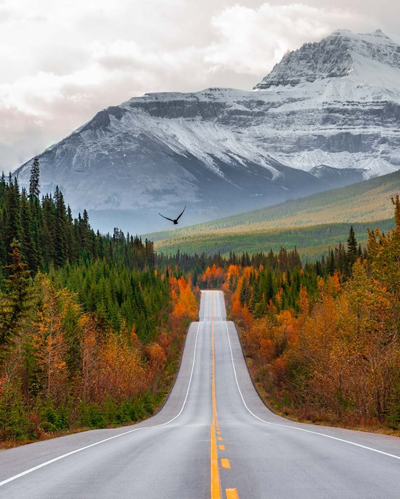 A bird flies across the road on the Icefields Parkway near Banff