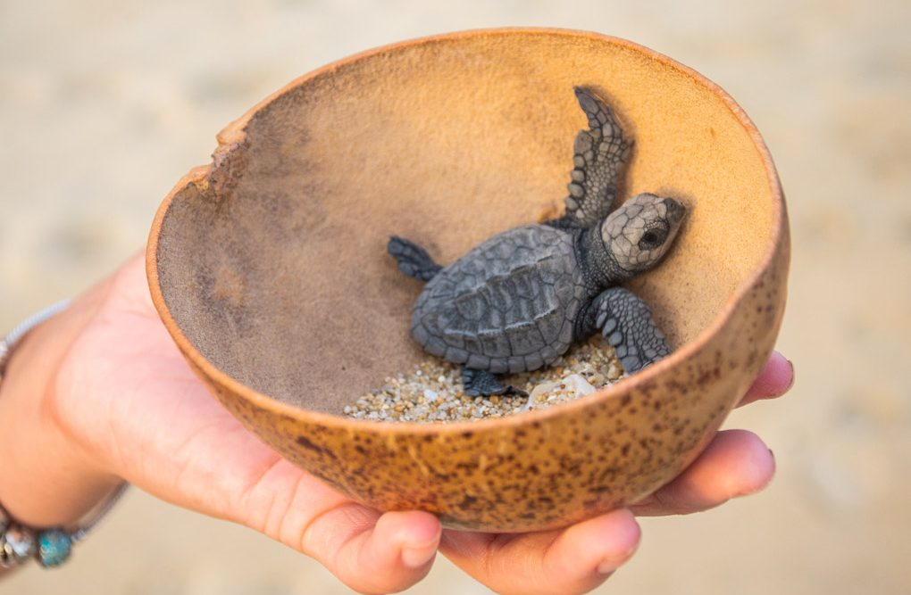 Releasing a baby turtle for turtle conservation in Puerto Escondido, Mexico