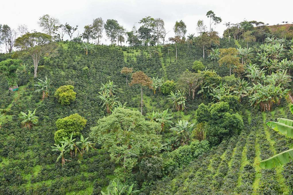 A photo of the vast coffee plantations in Salento Colombia