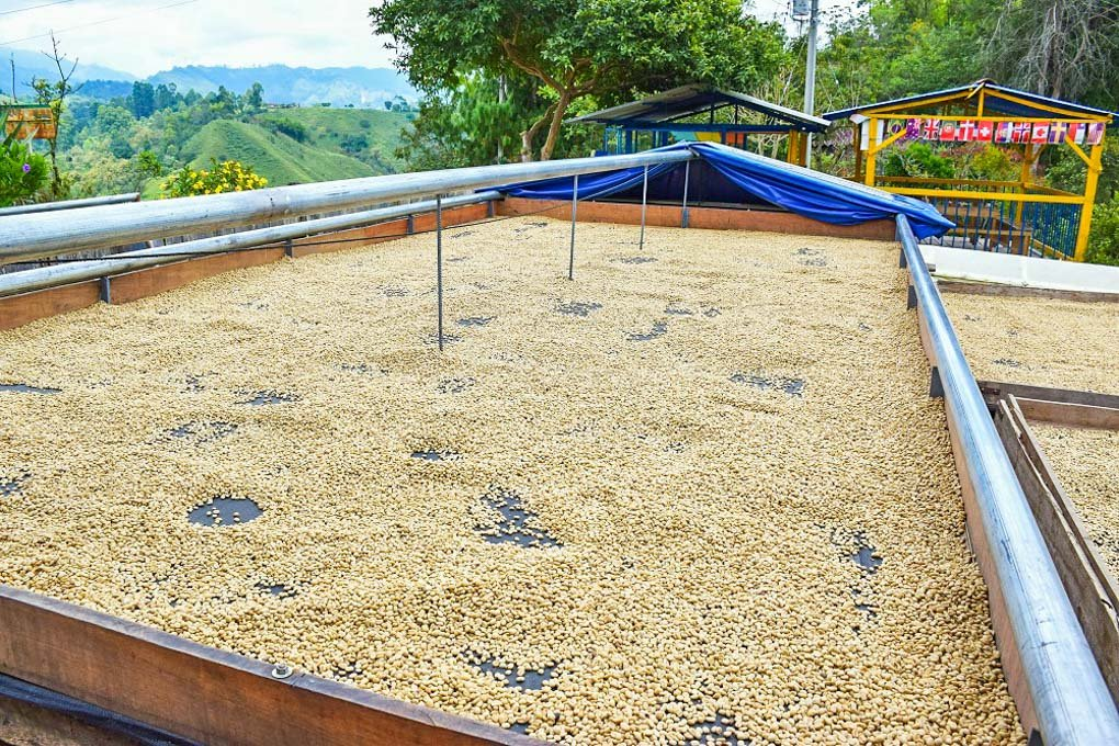 The coffee beans drying out at a farm in Salento