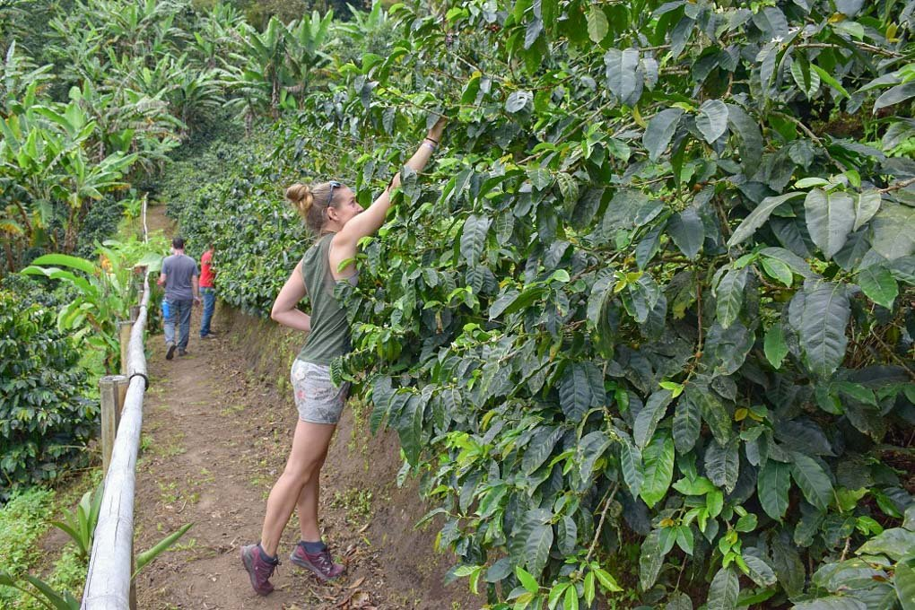 Picking coffee beans in Salento Colombia
