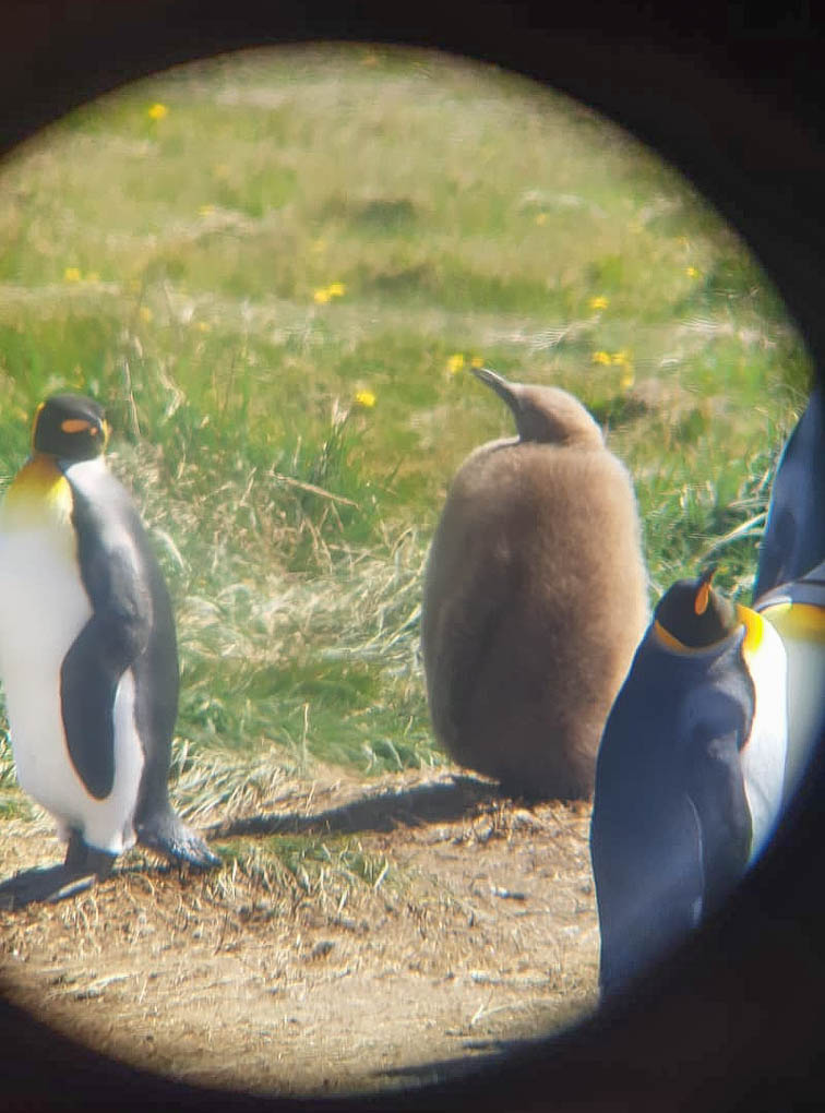 a fluffy brown baby king penguin chick