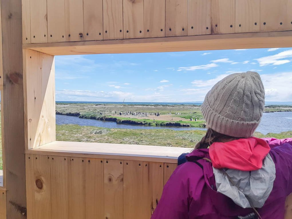 person viewing king penguins from the viewing shelter in king penguin park in chiles