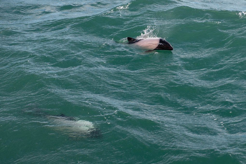 commerson's dolphin near punta arenas chile