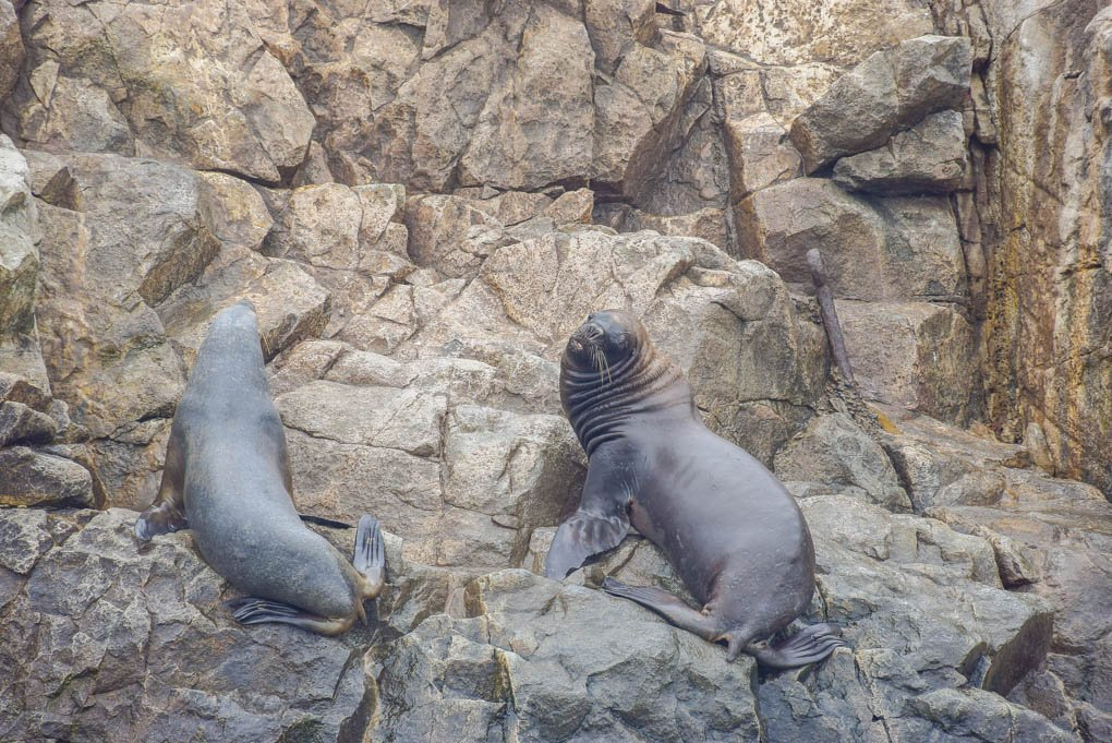 a couple of sea lions laying on a rock in chile