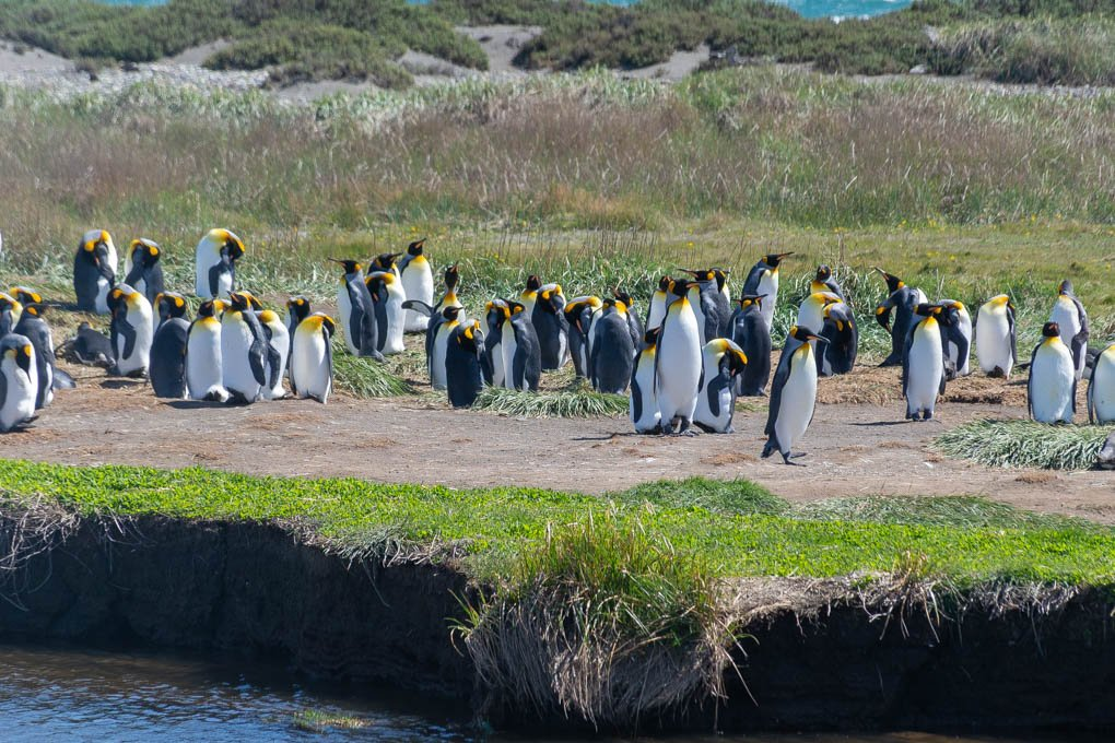 king penguins colony near punta arenas chile