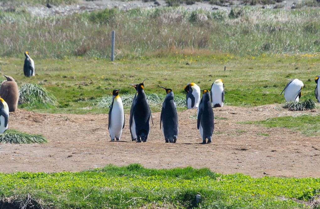 king penguins on Tierra del Fuego