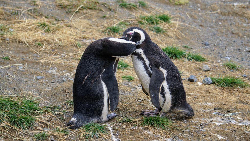 Isla Magdalena Penguins near Punta Arenas