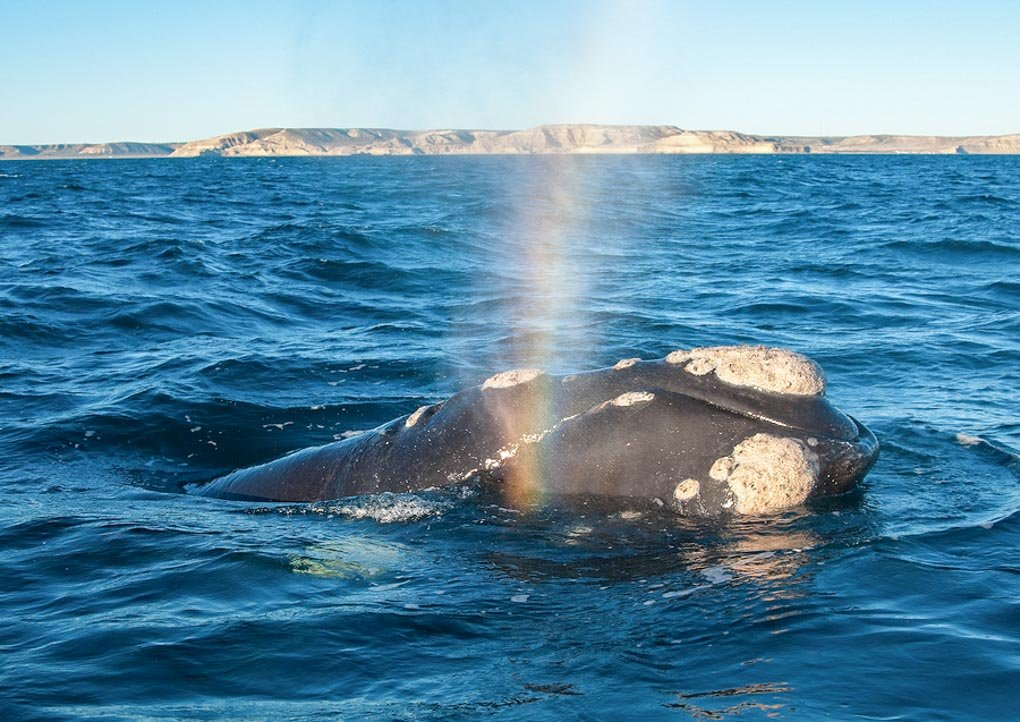 A Right Whale in Peninsula Valdes Argentina
