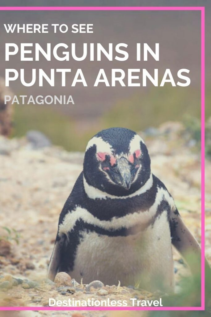 where to see penguins in punta arenas pinterest image