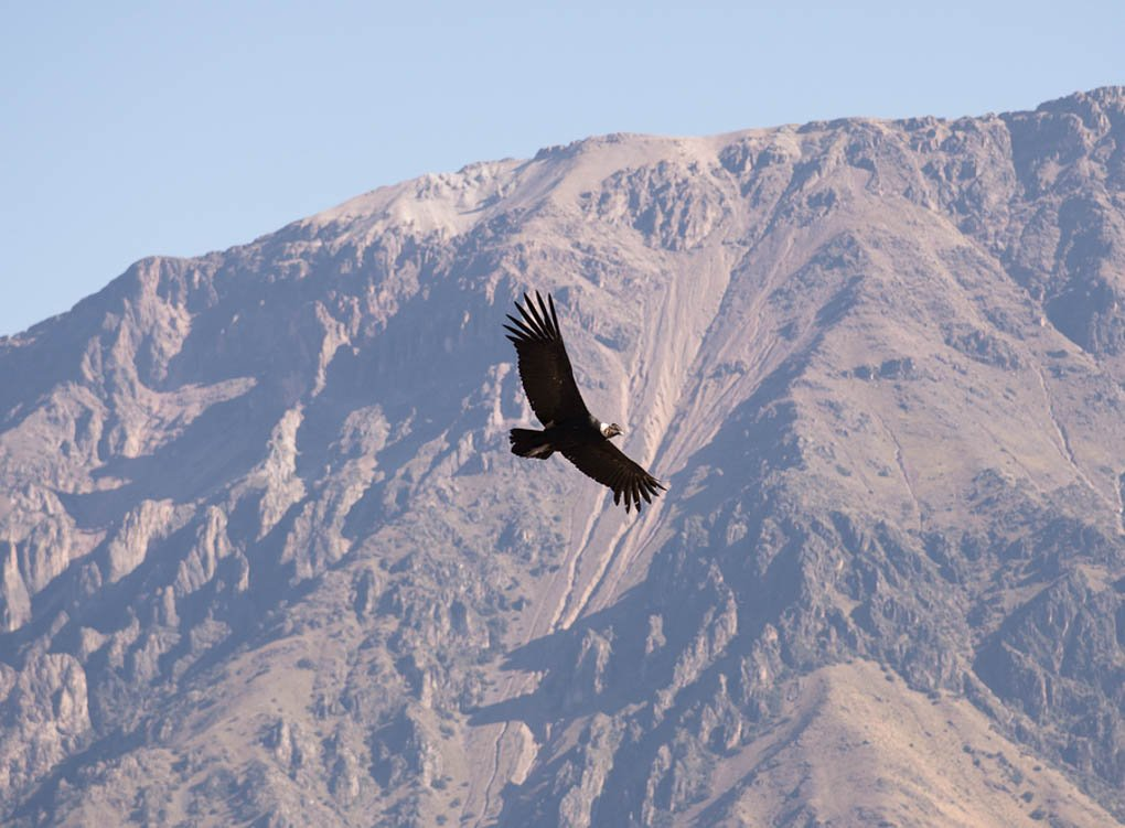 Condor in flight in El Chalten