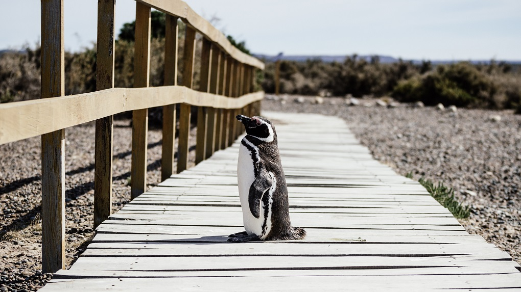 penguin on boardwalk in punta tombo