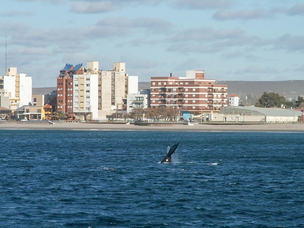 A Southern Right Whale dives with a backdrop of Puerto Madryn Argentina.