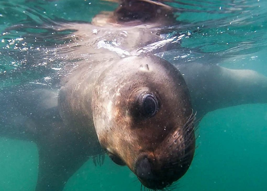 Swimming with Sea Lions in Puerto Madryn