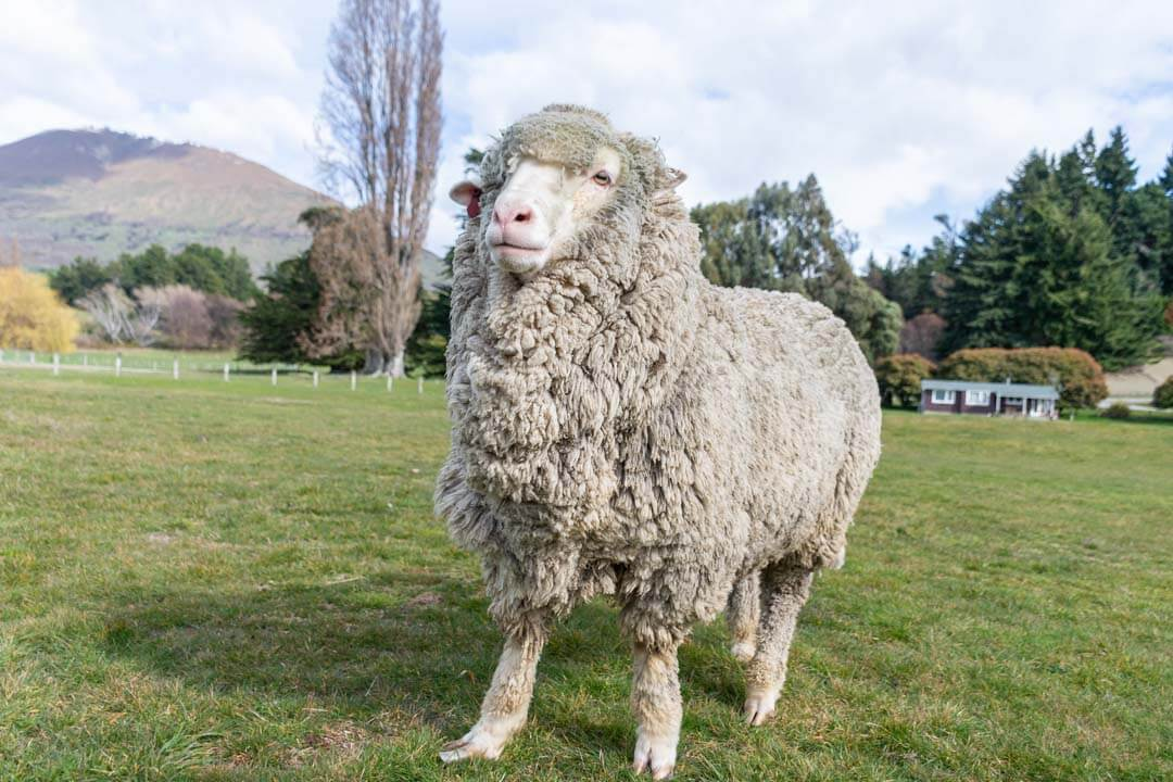A sheep poses for a photo at the Mt Nicholas Farm tour