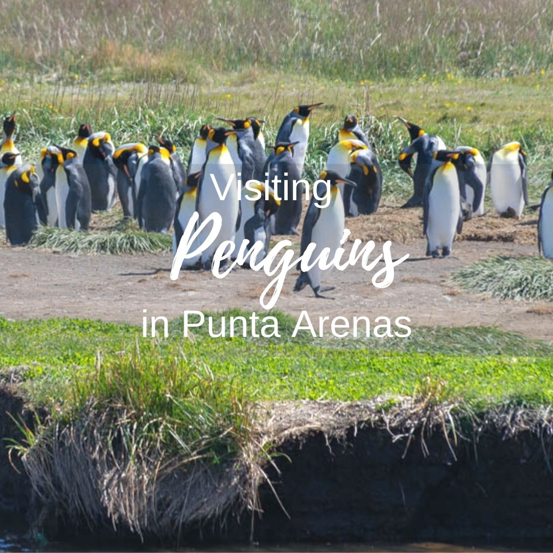 The King Penguins on Tierra del Fuego