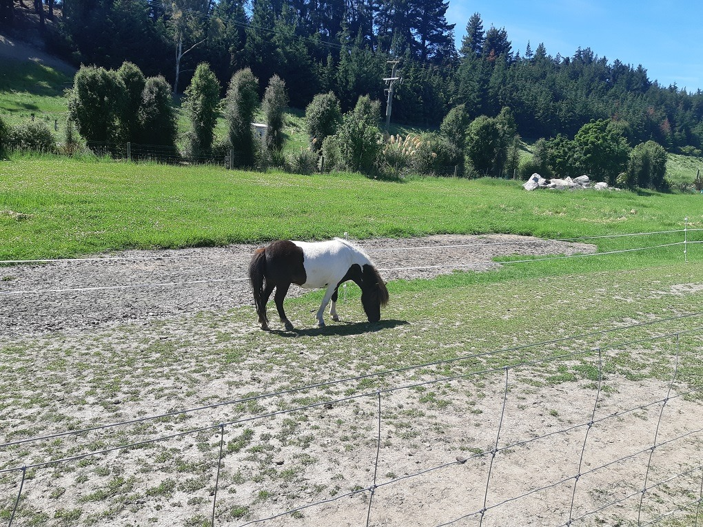 miniature horse at the wanaka lavender farm